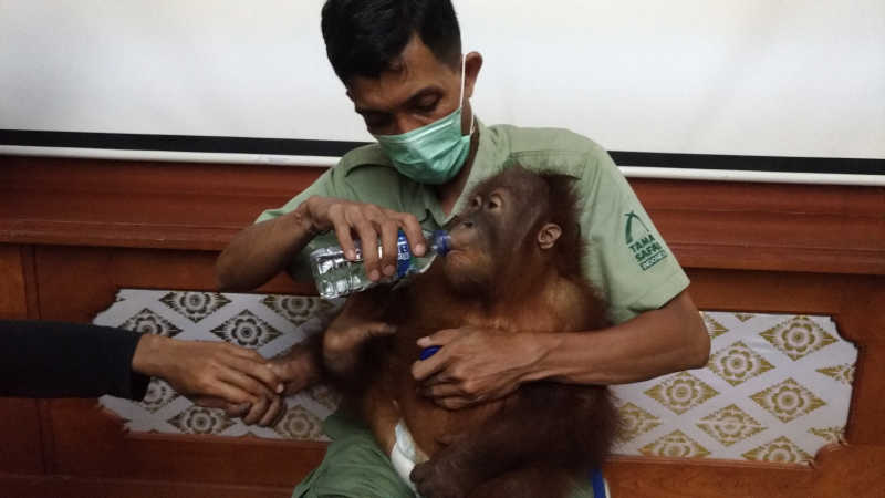 """""""Bonbon"""" Akhirnya Kembali Ke Sebaran Alaminya di Sumatera Utara"""